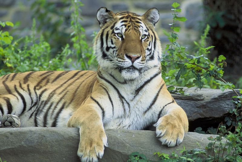 800px-Sikhotealintiger.jpg